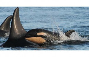 Photo by: Dave Ellifrit, Center for Whale Research