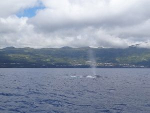 Blue whale spouting © Laureline Formanek