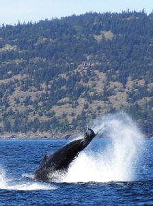 humpback tail slapping