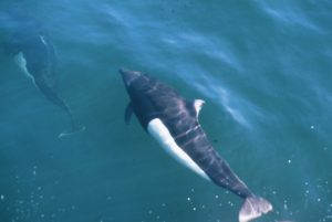 Dall's Porpoise on a Victoria Whale Watching Tour