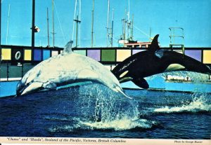 Chimo, a captive female orca at Sealand of the Pacific in the 1970's