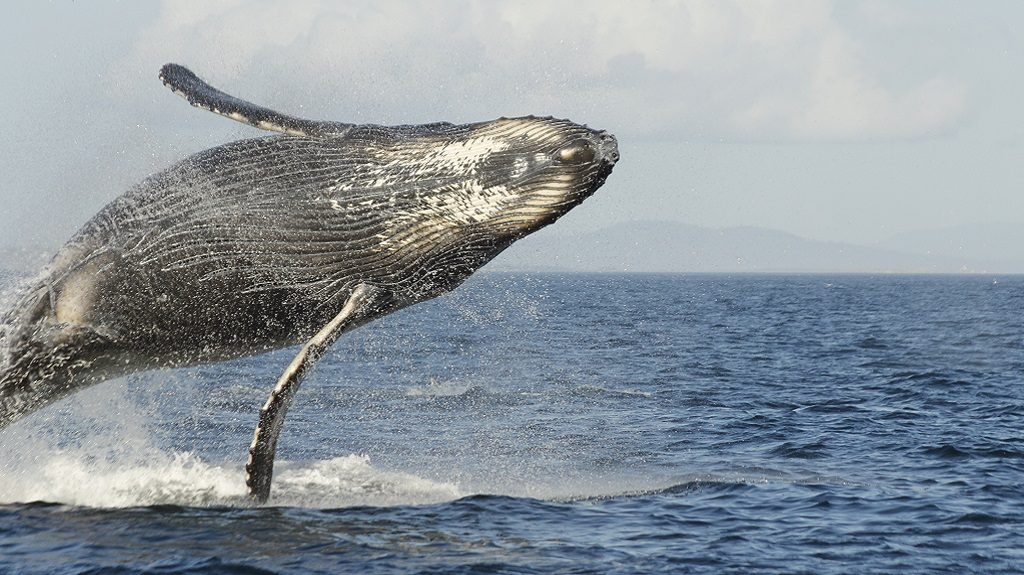 humpback whale communication