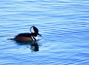 Marganser Duck, Victoria Whale Watching