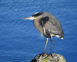 Great Blue Heron with Victoria Whale Watching