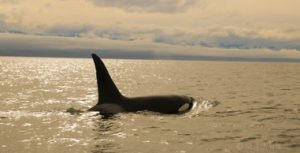 Killer Whales, Victoria Whale Watching
