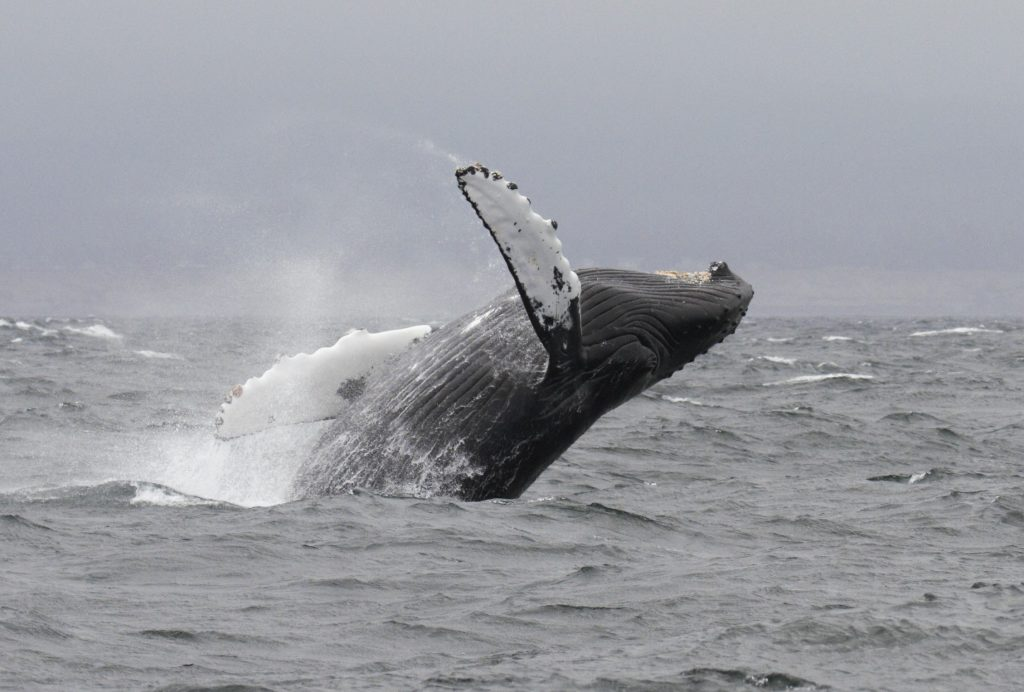 Breaching Humpback Whale with Springtide Whale Watching