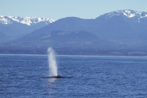 humpback whale and mountains with Springtide whale watching
