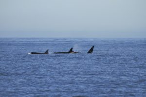 T49A's transient orcas Springtide Whale Watching