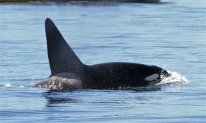 Orca Springtide whale watching