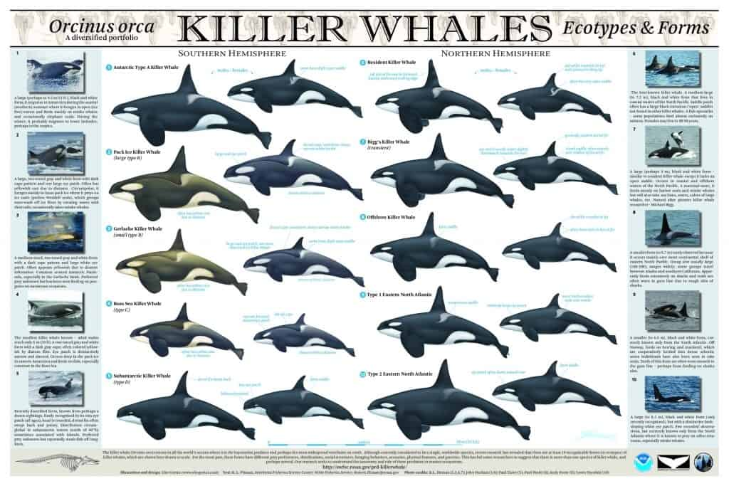 TYPE D KILLER WHALES, NEW SPECIES?