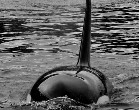 T49A Transient Male Killer Whale