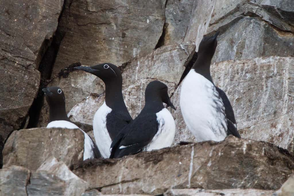 """Common Murre (Uria aalge)"" by sussexbirder is licensed under CC BY 2.0"