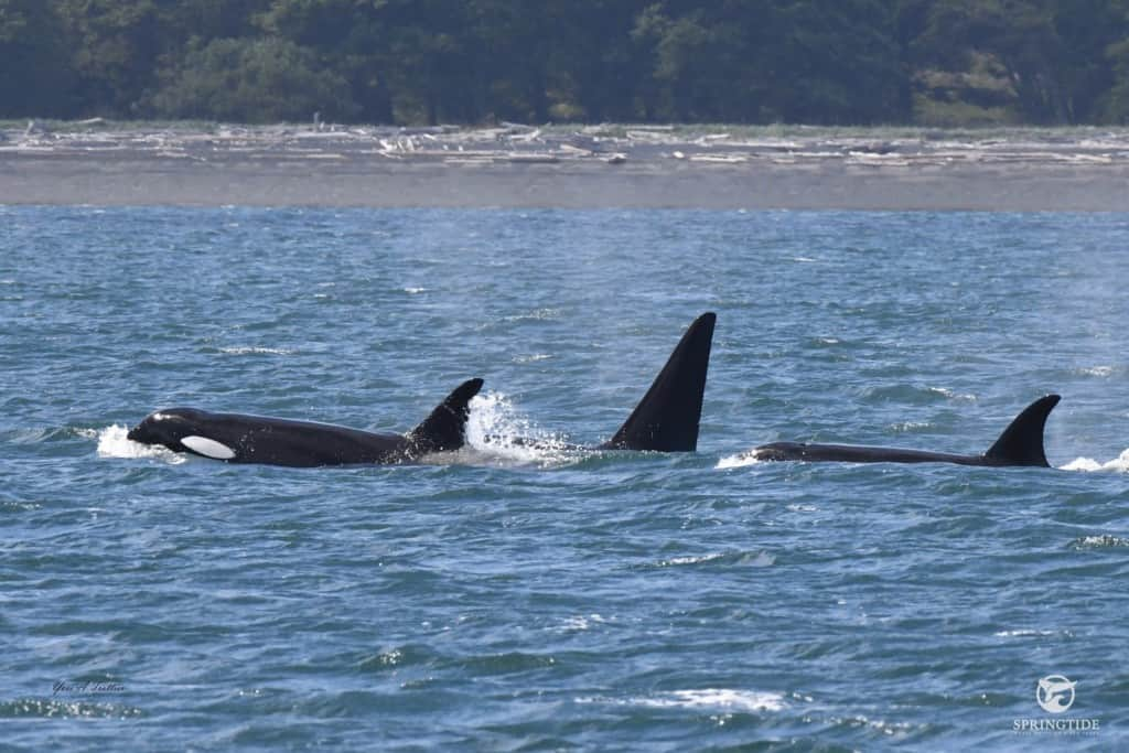 Transient Killer Whales