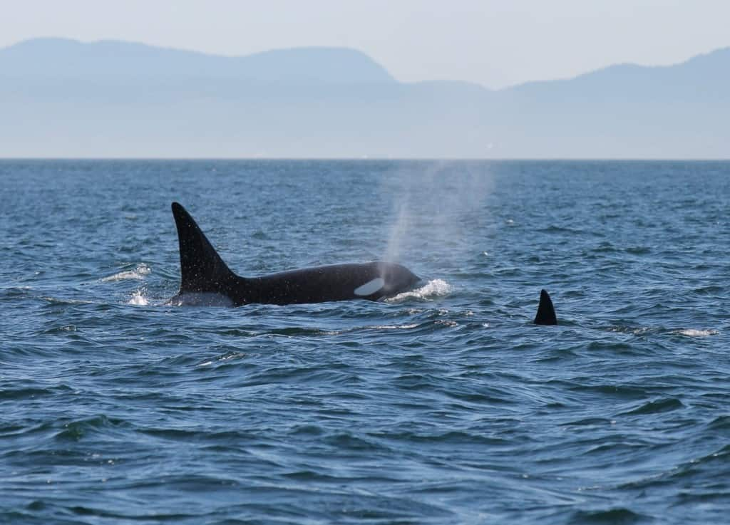 Spotted: Killer Whales and More