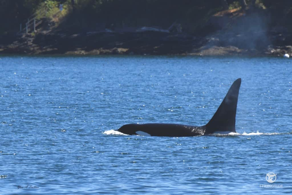 Male Transient Killer Whale