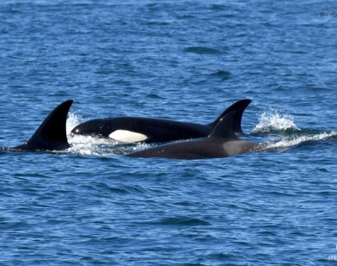 Captains Log Transient Orca Whales