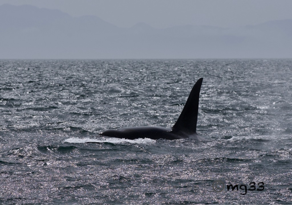 Bigg's Killer Whales out front!