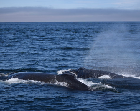 Two humpbacks feeding at the surface