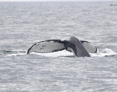 Two Spot Humpback Whale