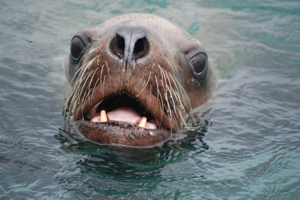 Steller sea lion head
