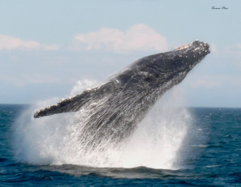 Incredible Whale Breach!