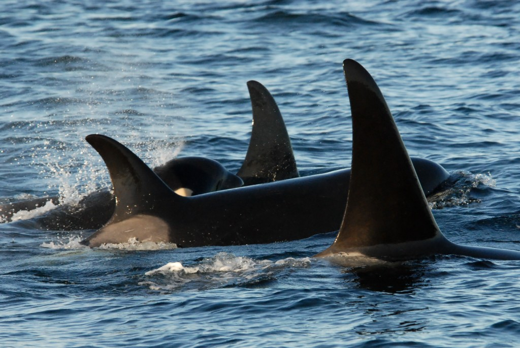 19th January – Killer whales and humpback whales