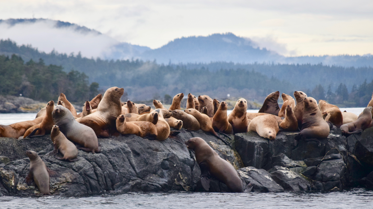 Sea lions hauled out at Race Rocks. Picture by SpringTide Crew with a zoom lens.