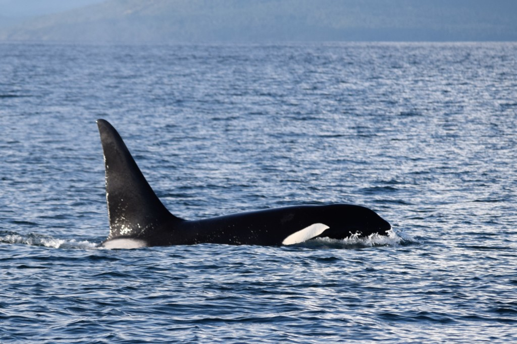 Many Orca and Humpback Whales