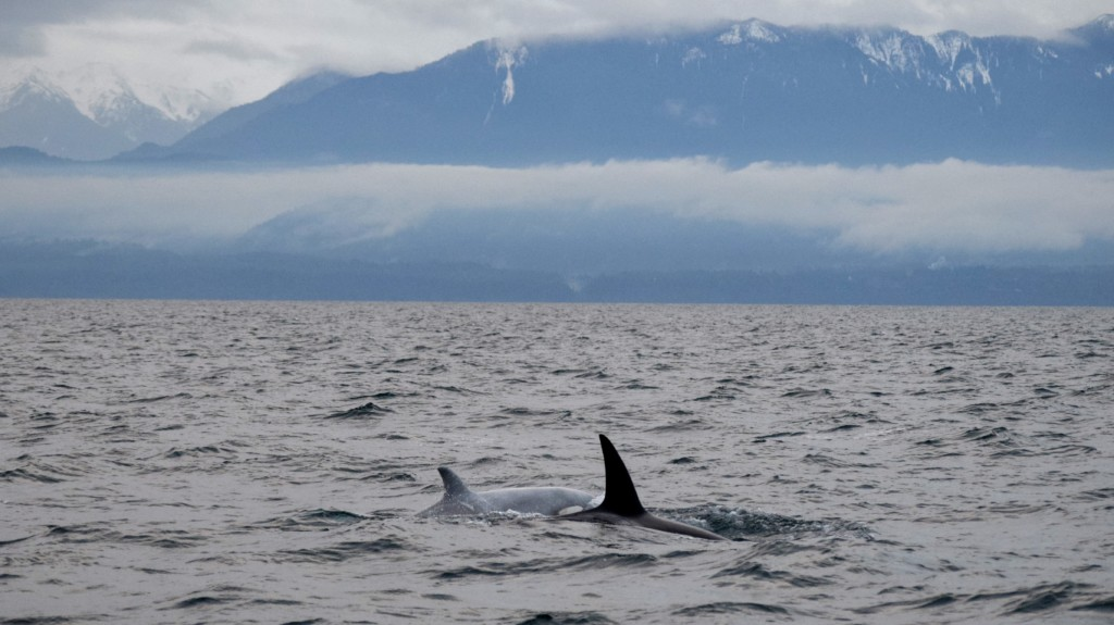 'White' Orca and Breaching Whales!