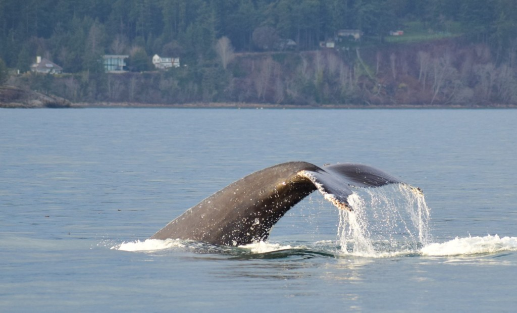 Humpback Whale going for a deep dive. Image take by Captain Ian with a zoom lens.