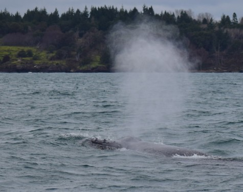 The blow of a Humpback Whale. Picture taken by Captain Ian with a zoom lens.