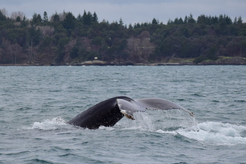 Tail of a Humpback Whale going for a deep dive. Picture taken by Captain Ian with a zoom lens.