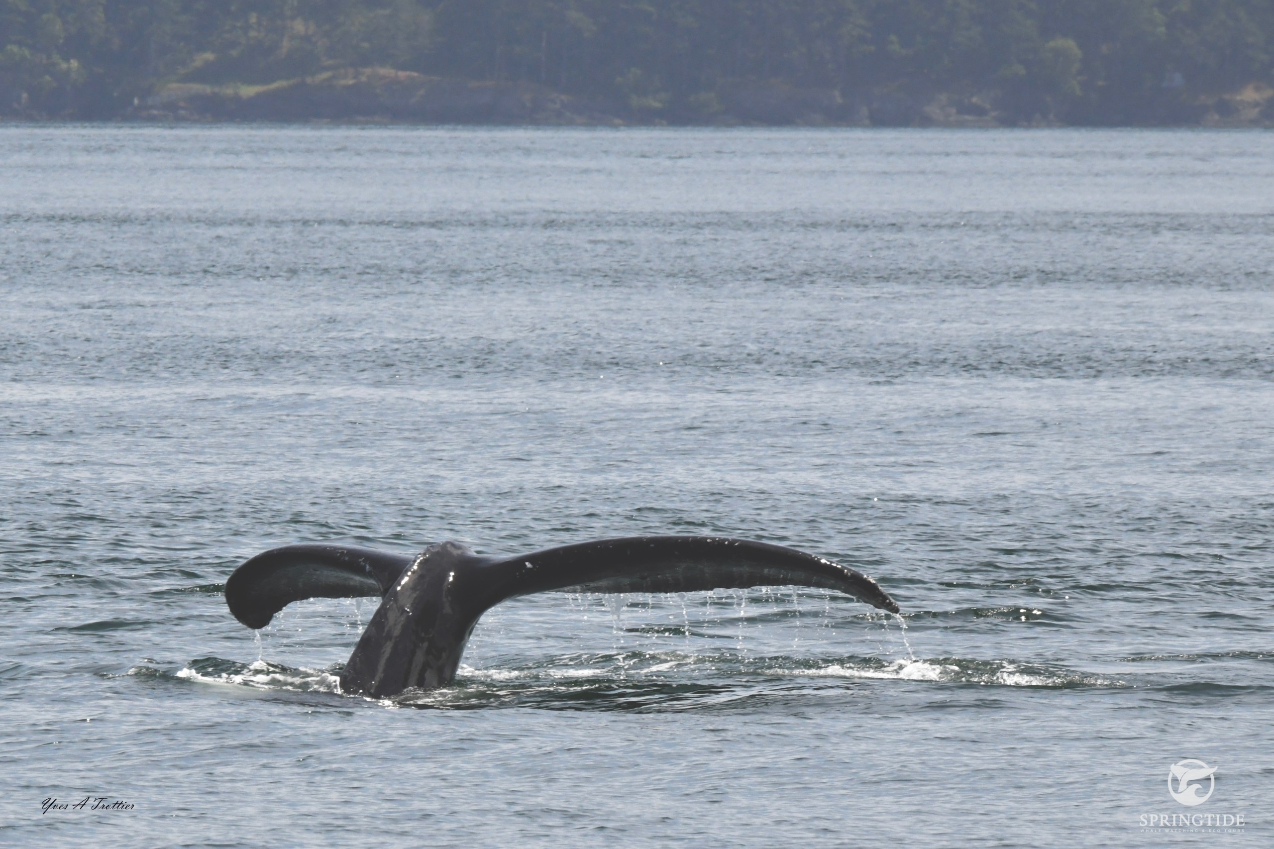 Humpback Whale going to a deep dive. Picture taken by SpringTide Crew.