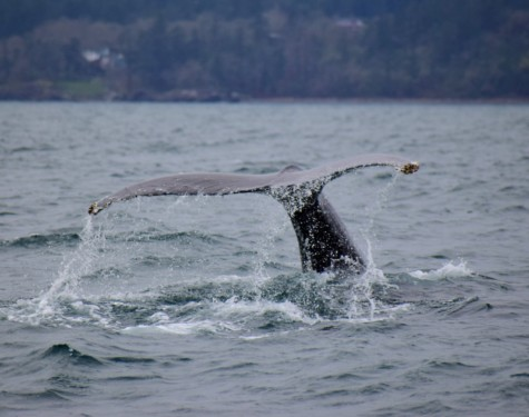 The tail of a Humpback Whale. Picture by SpringTide crew with a zoom lens.