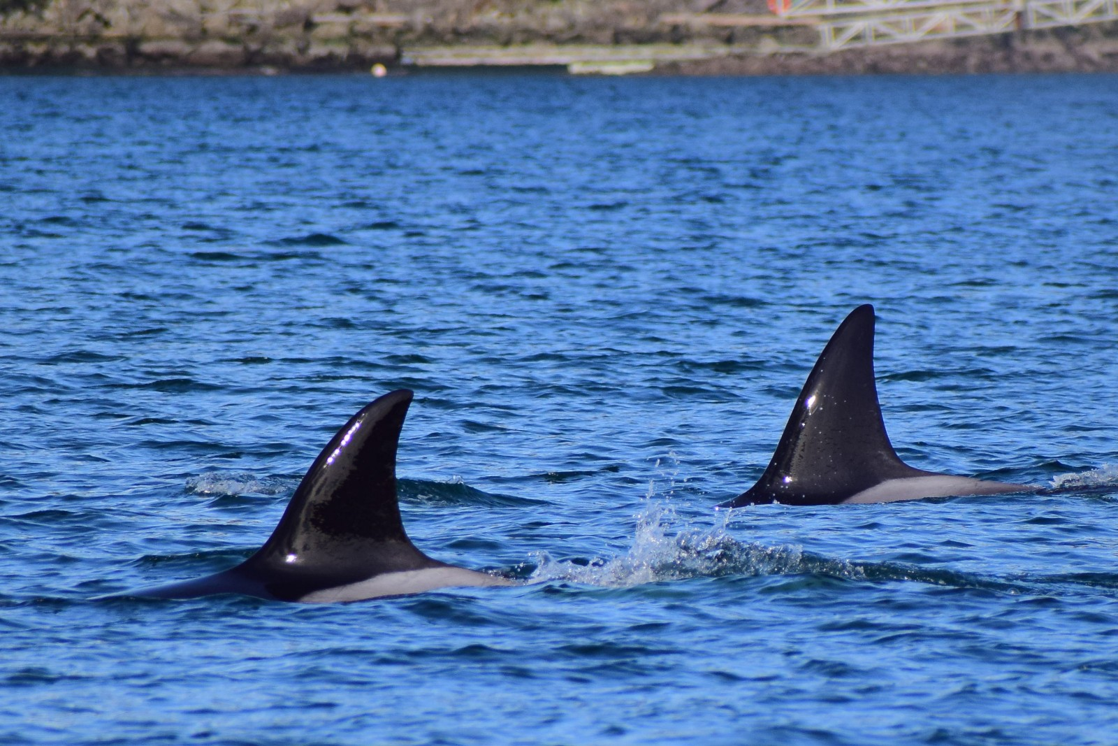 Dorsal fin of two Transient Orca. Picture taken by Captain Ian with a zoom lens..