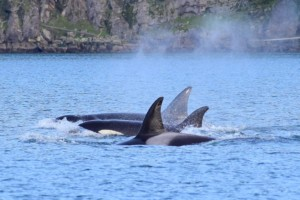 Killer Whales swimming near Plumper Sound. Picture taken by Captain Ian with a zoom lens.