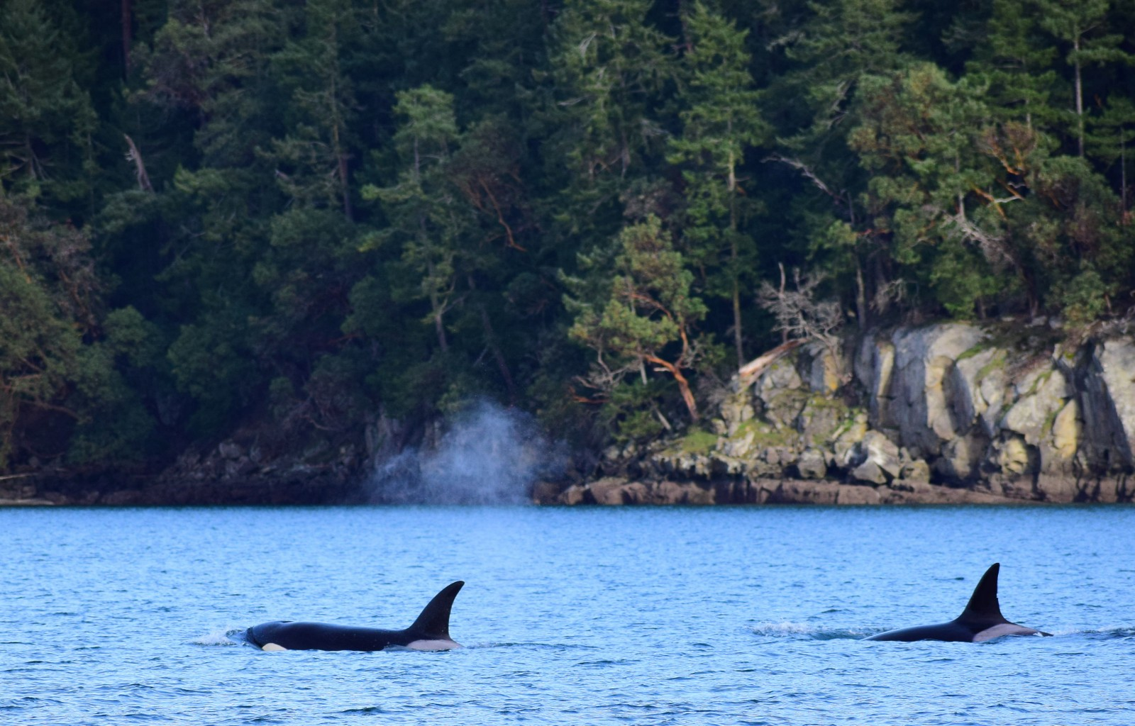 Orca in the sunshine. Picture taken by Captain Ian with a zoom lens.