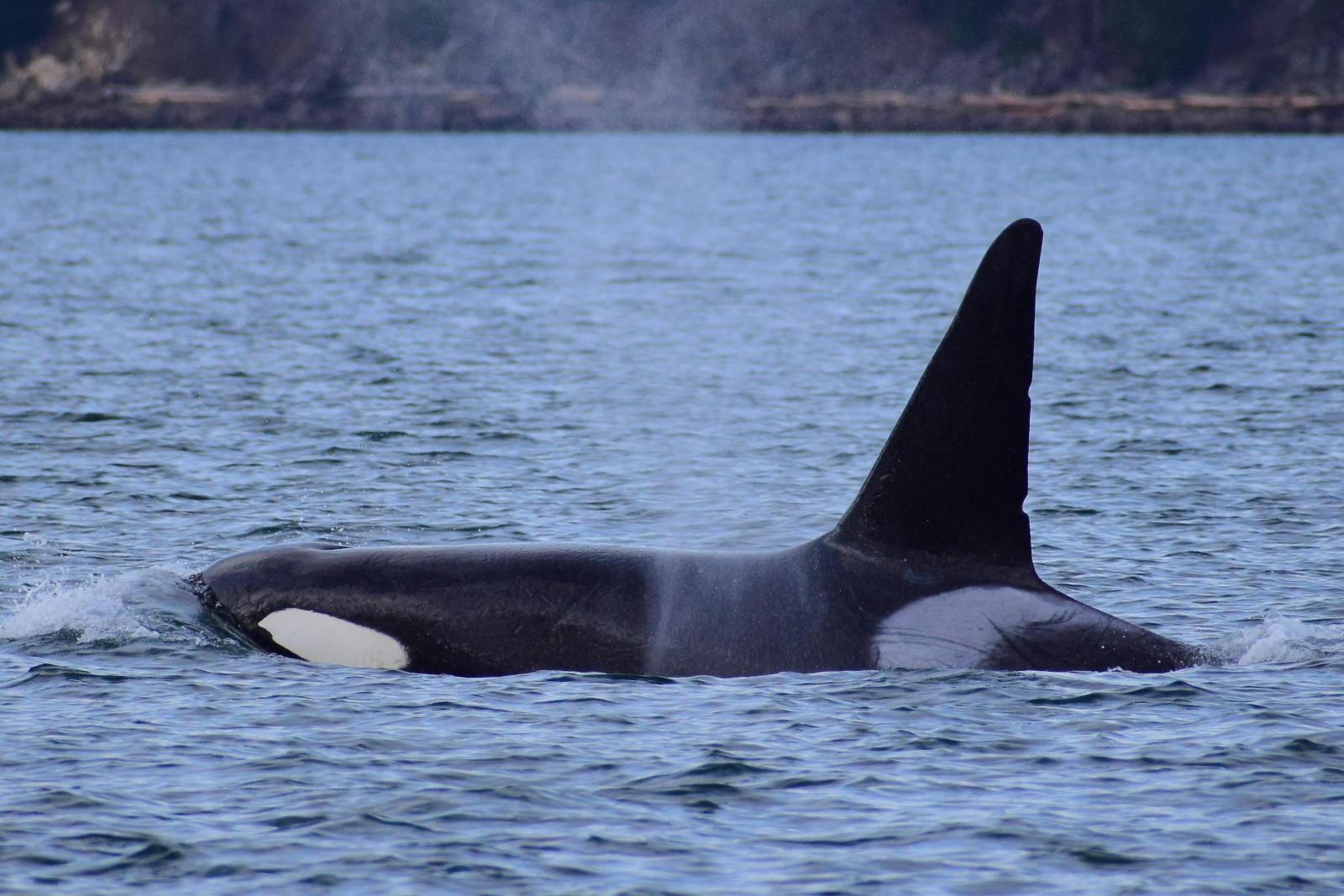 T137A a male Orca. Picture taken by Captain Ian with a zoom lens.