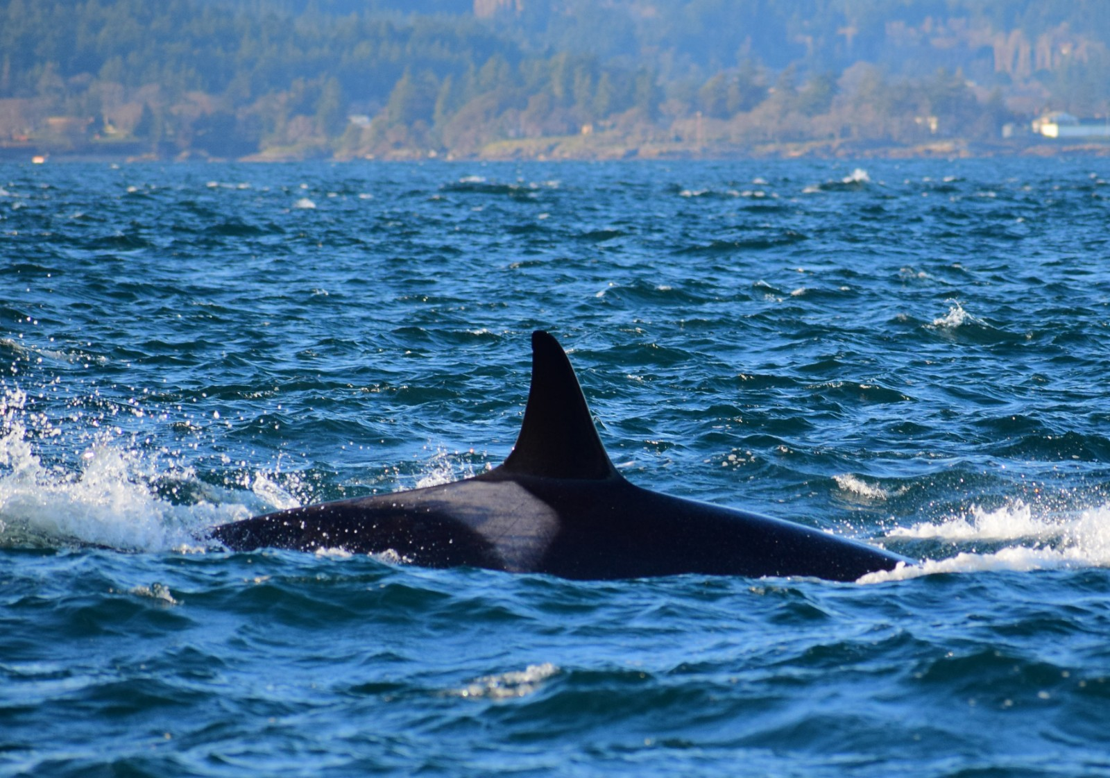 Orca rising to the surface to catch a breath. Picture taken by Captain Ian with a zoom lens.