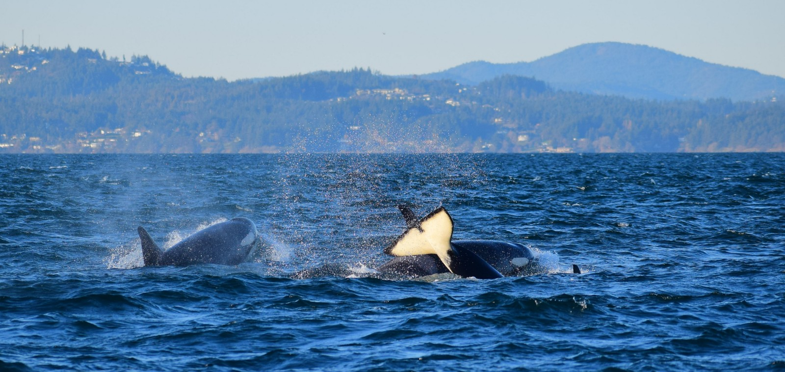 Orca tail slapping. Picture taken by Captain Ian with a zoom lens.