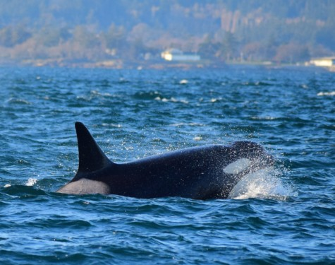 Fast swimming Orca! Picture taken by Captain Ian Roberts.