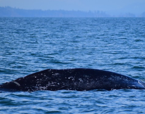 A Grey Whale! Picture taken by Captain Ian with a zoom lens