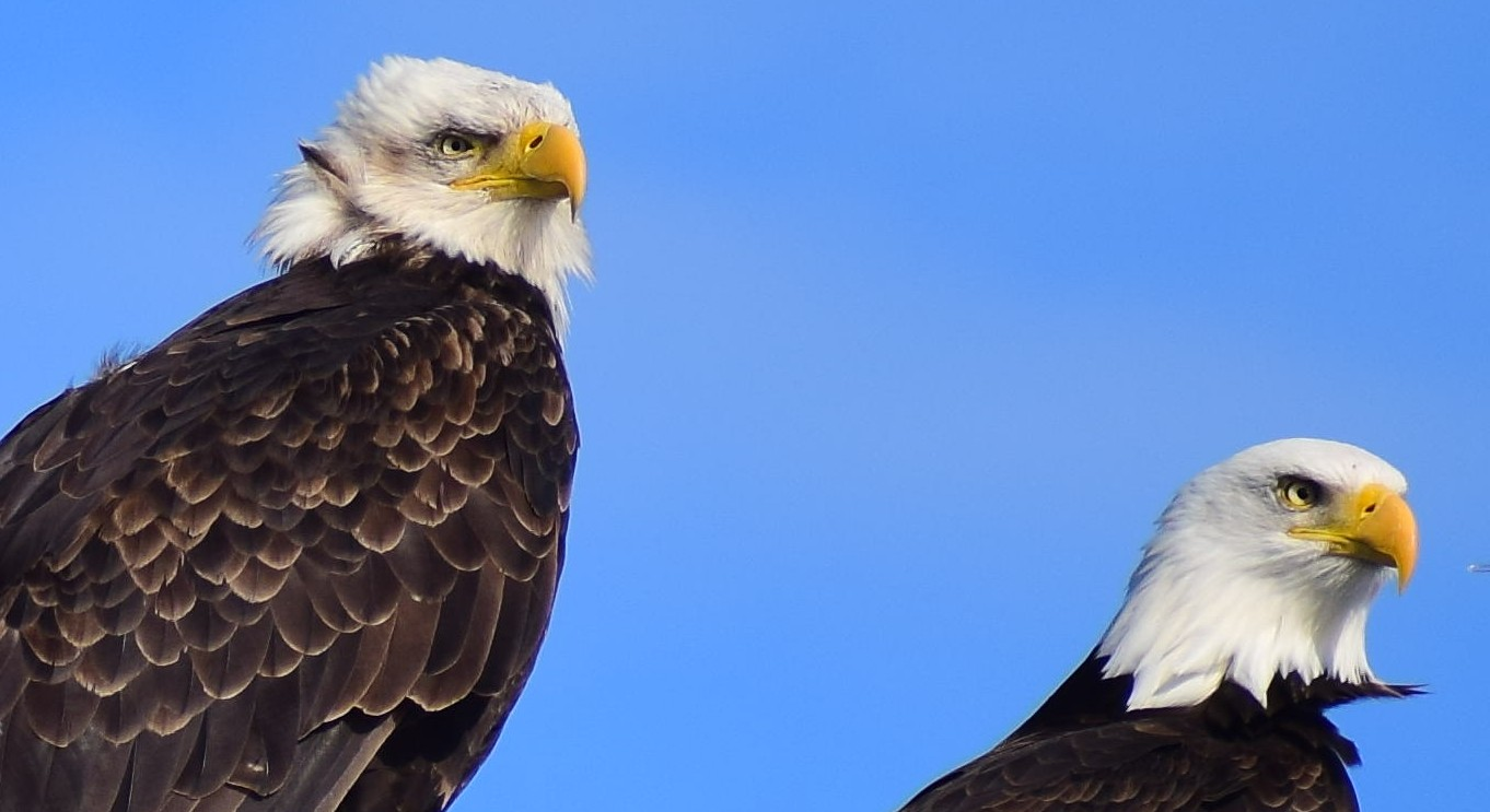 A pair of adult bald eagles. Picture taken by Captain Ian with a zoom lens.