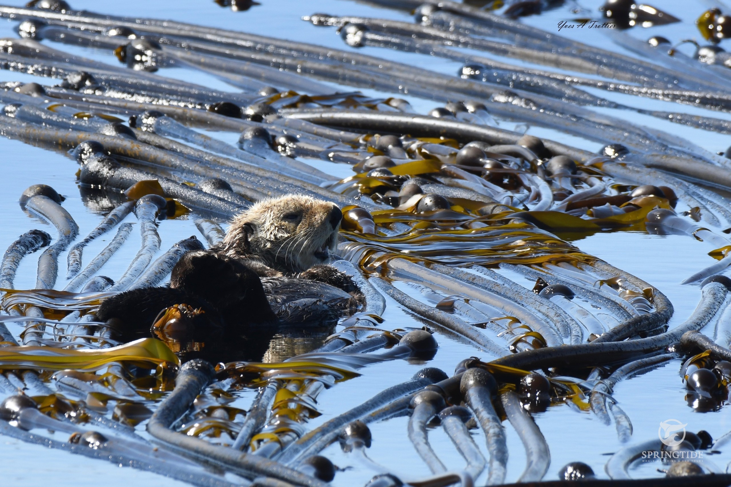 Harry Otter in a Kelp bed. Picture taken by SpringTide Crew with a zoom lens.