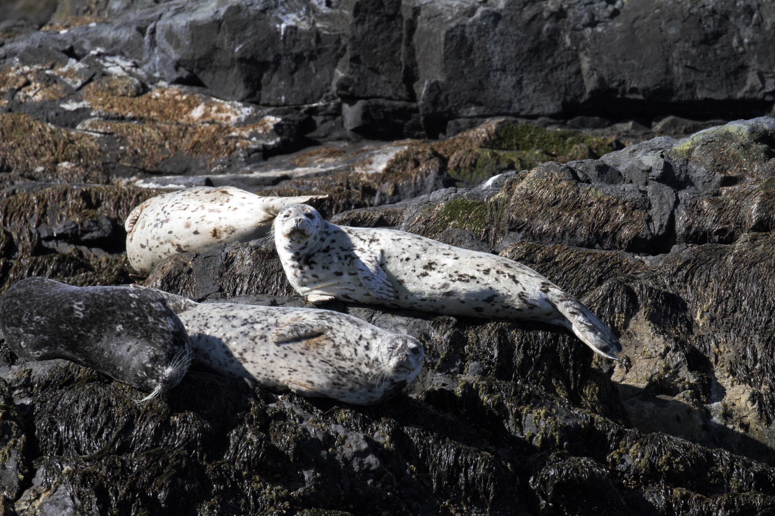Harbour Seals in sunshine. Photo taken by SpringTide Crew with a zoom lens.