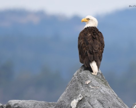 Bald Eagle at Race Rocks. Picture taken with a zoom lens.
