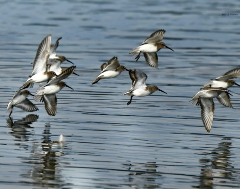 Dunlins flying over Esquimalt Lagoon. Picture taken by Captain Yves with a zoom lens.