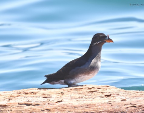 Rhinoceros Auklet perched on a floating log. Picture taken by Captain Yves with a zoom lens.