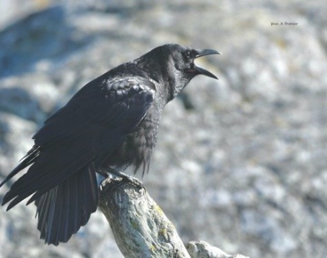 Northwestern Crow. Picture taken by Captain Yves with a zoom lens.