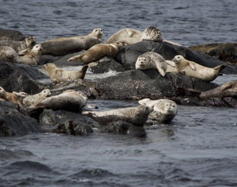 Harbour seals in sausage pose! Pictures taken by SpringTide Crew with a zoom lens.